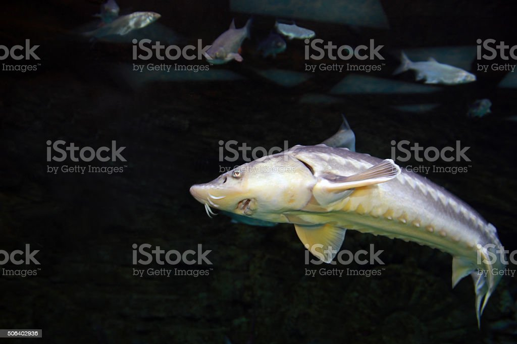 Sturgeon fish underwater stock photo