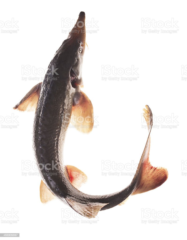 Sturgeon isolated stock photo