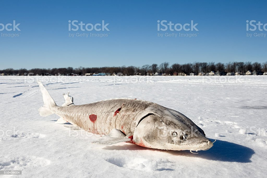 Sturgeon on a Frozen Lake stock photo