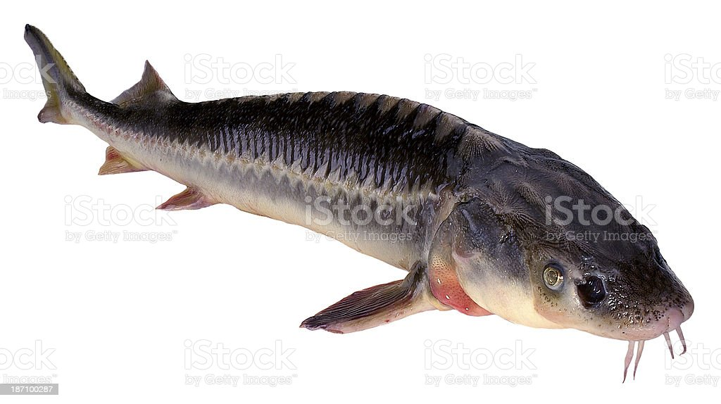 Sturgeon(+clipping path) stock photo
