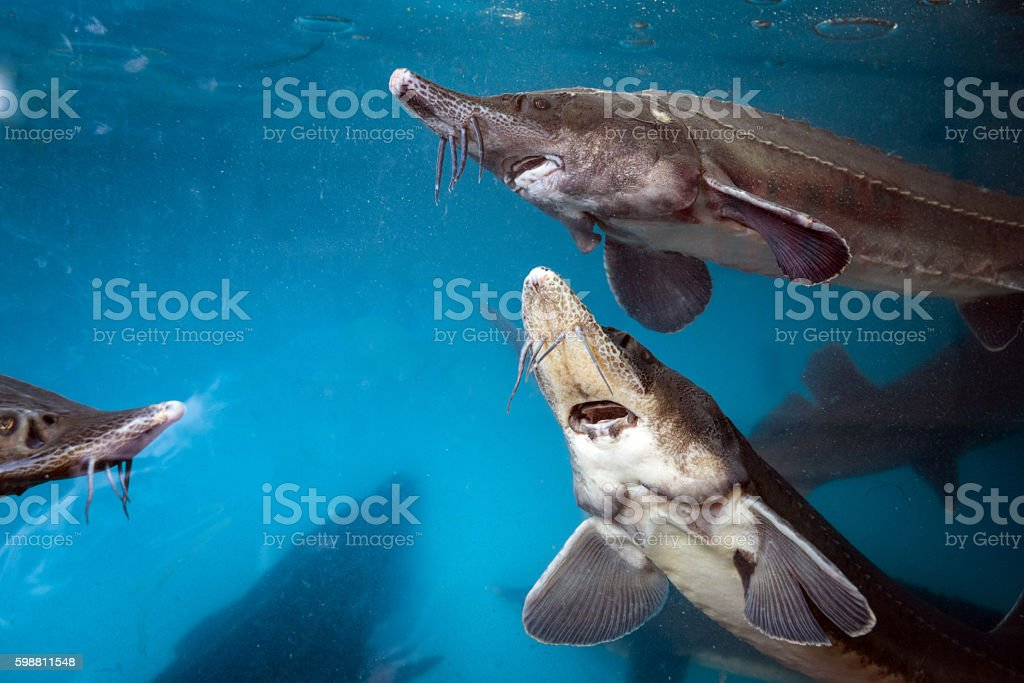 Sturgeon underwater stock photo