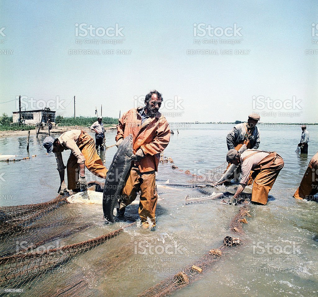 Sturgeons is caught in the river Volga. stock photo