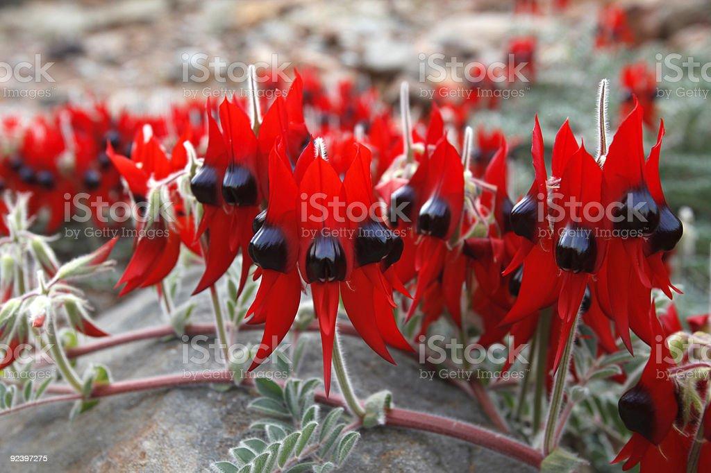 Sturt Desert Pea (Swainsona formosa) stock photo