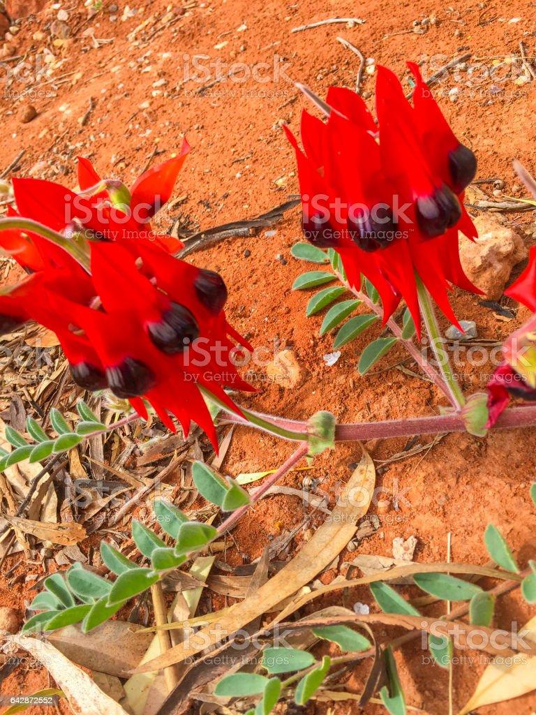 Sturts Desert Pea Flower stock photo
