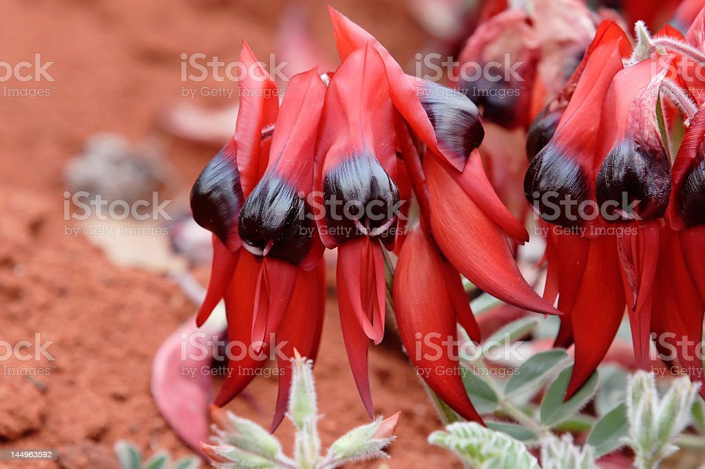 Sturts Desert Pea stock photo