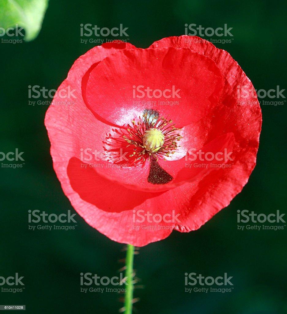 Stylized Portrait Of A Single Red Poppy stock photo
