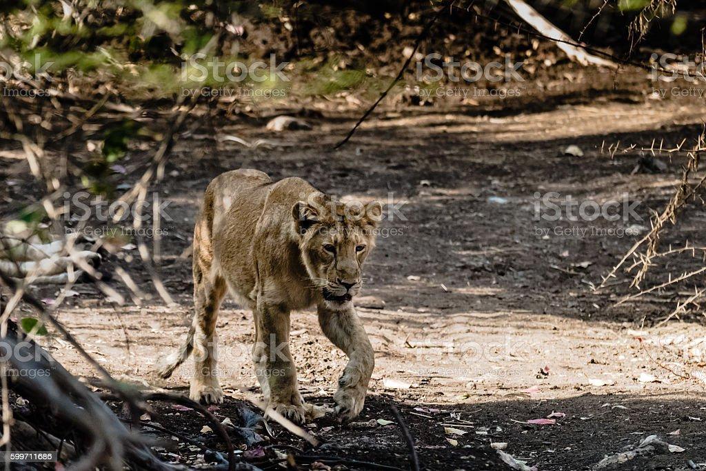 Sub-adult cub of Asiatic Lion stock photo