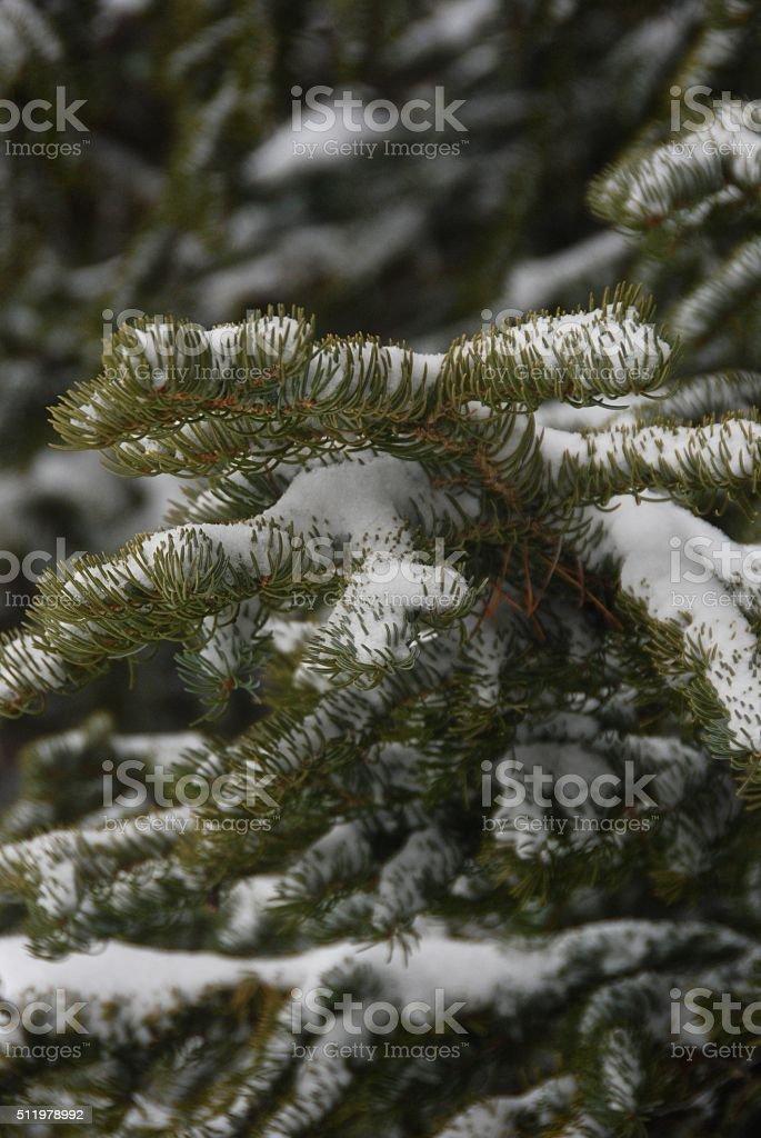 Subalpine Fir and Snow stock photo
