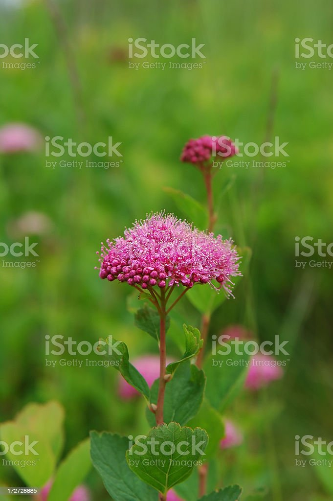 Subalpine (Rosy) Spirea stock photo