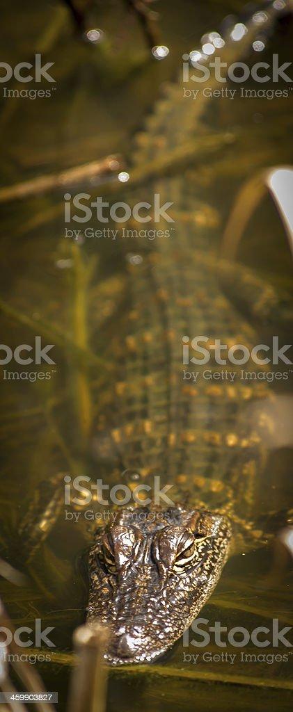 Submerged Alagator stock photo