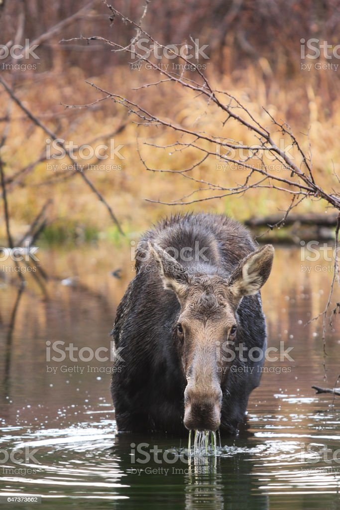Submerged Moose Snout Drooling Eating Plants stock photo