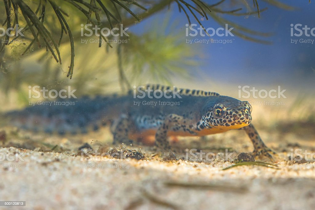 Submersed Alpine Newt in a pool stock photo