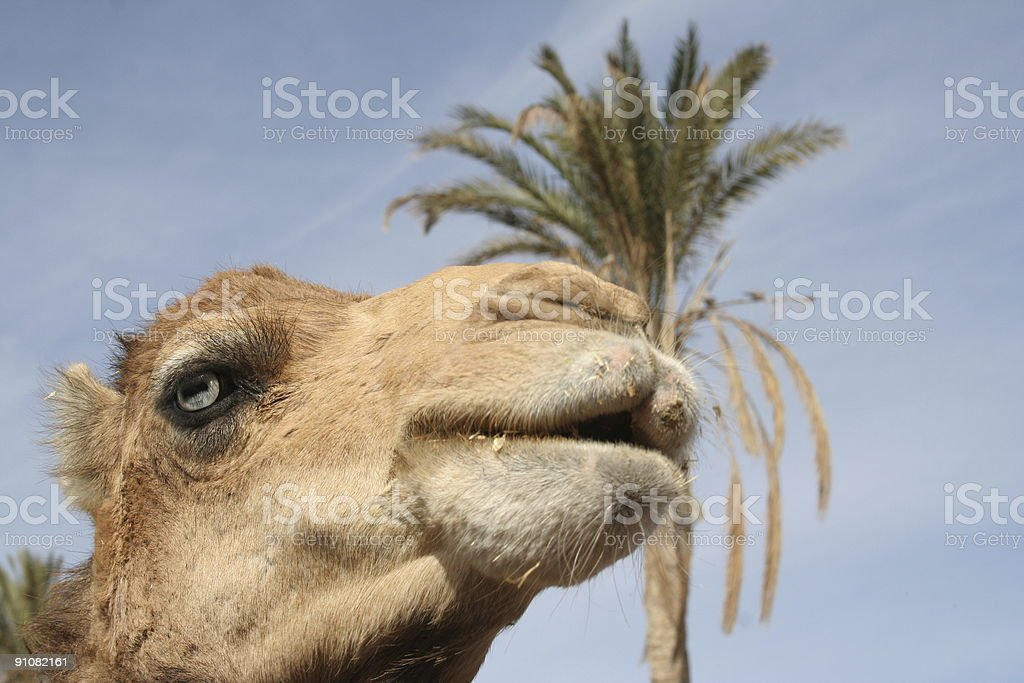 Subsaharan Camel royalty-free stock photo