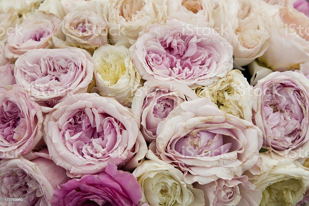 Subtle pastel pink roses royalty-free stock photo