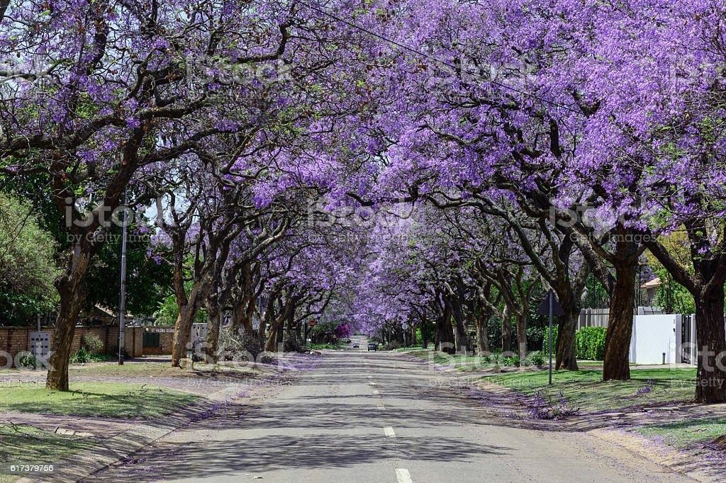Suburban street lined with Jacaranda trees stock photo