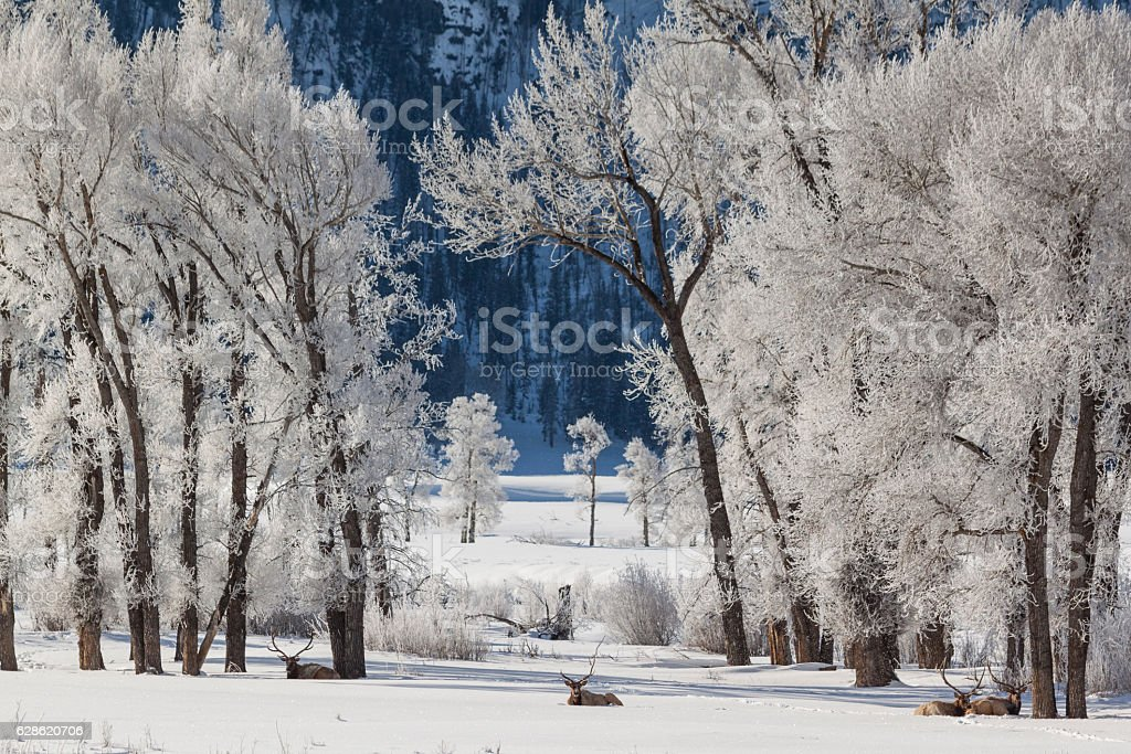 Sub-zero morning in Lamar Valley with bull elf relaxing undernea stock photo
