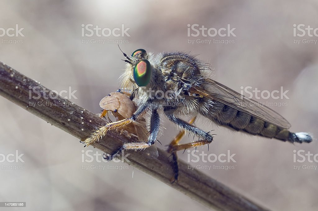 Successful hunting.Asilidae and chinch stock photo