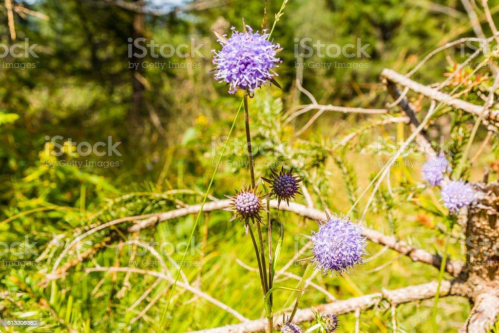 Succisa pratensis - plant. stock photo