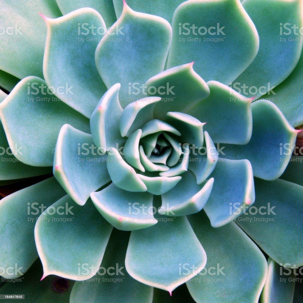 Succulent Echeveria royalty-free stock photo