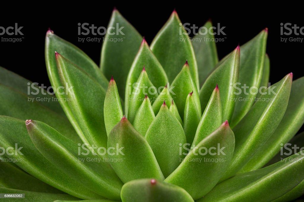 Succulent echeveria stock photo