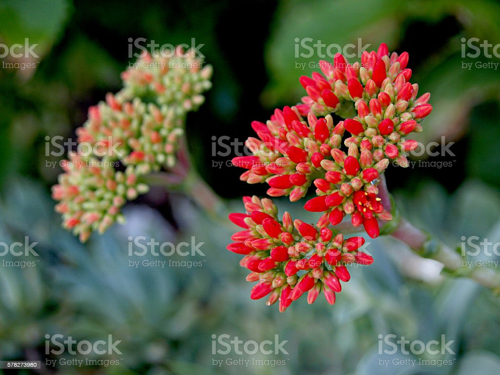 succulent flowers inmature and mature stock photo