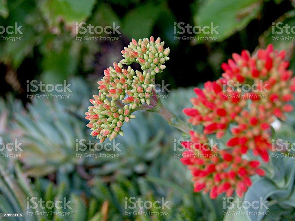succulent flowers inmature stock photo