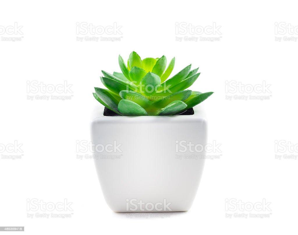 Succulent in Pot stock photo