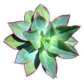 Succulent Isolated