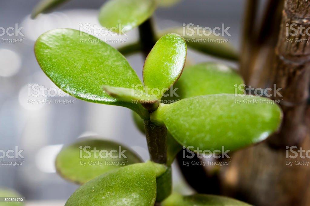 succulent / Jade Plant / Friendship Tree / Lucky Plant / Money Tree stock photo