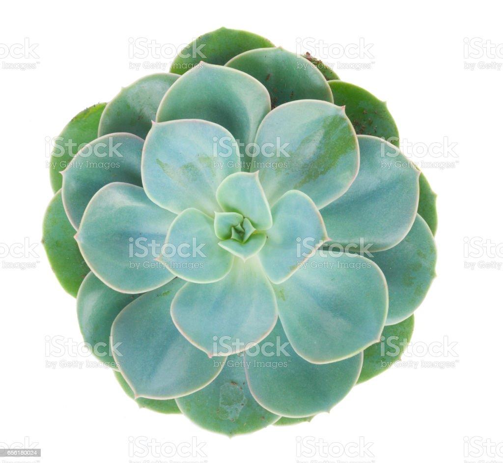 Succulent on white stock photo