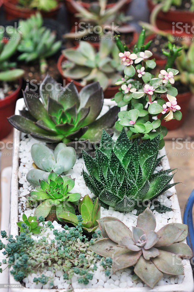 succulent stock photo