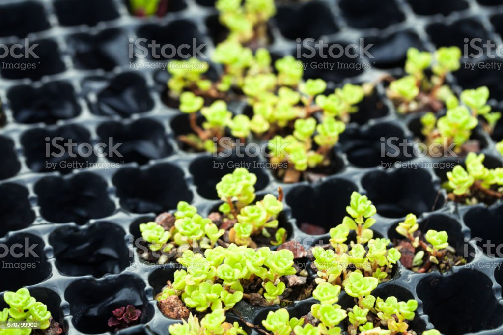 succulent plant cultured in the plate stock photo