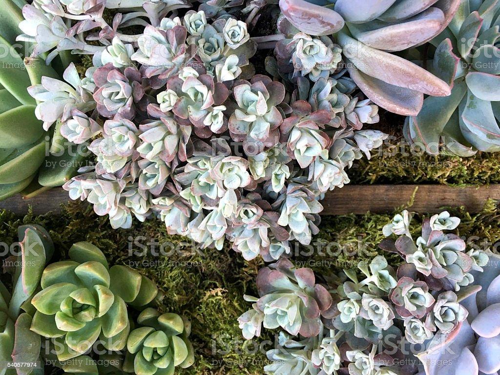 Succulent plant Echeveria stock photo