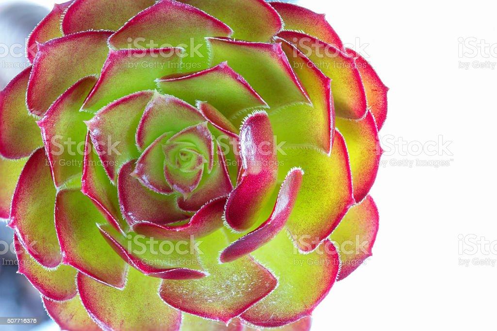 succulent plant flower stock photo
