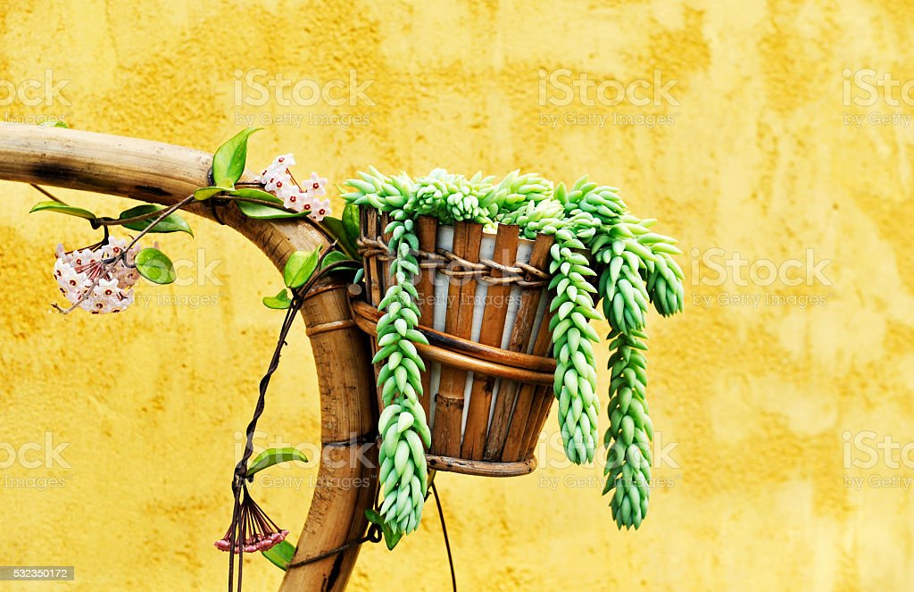 Succulent plant in a bamboo flower pot stock photo