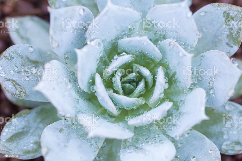Succulent Plant in pot after rain stock photo