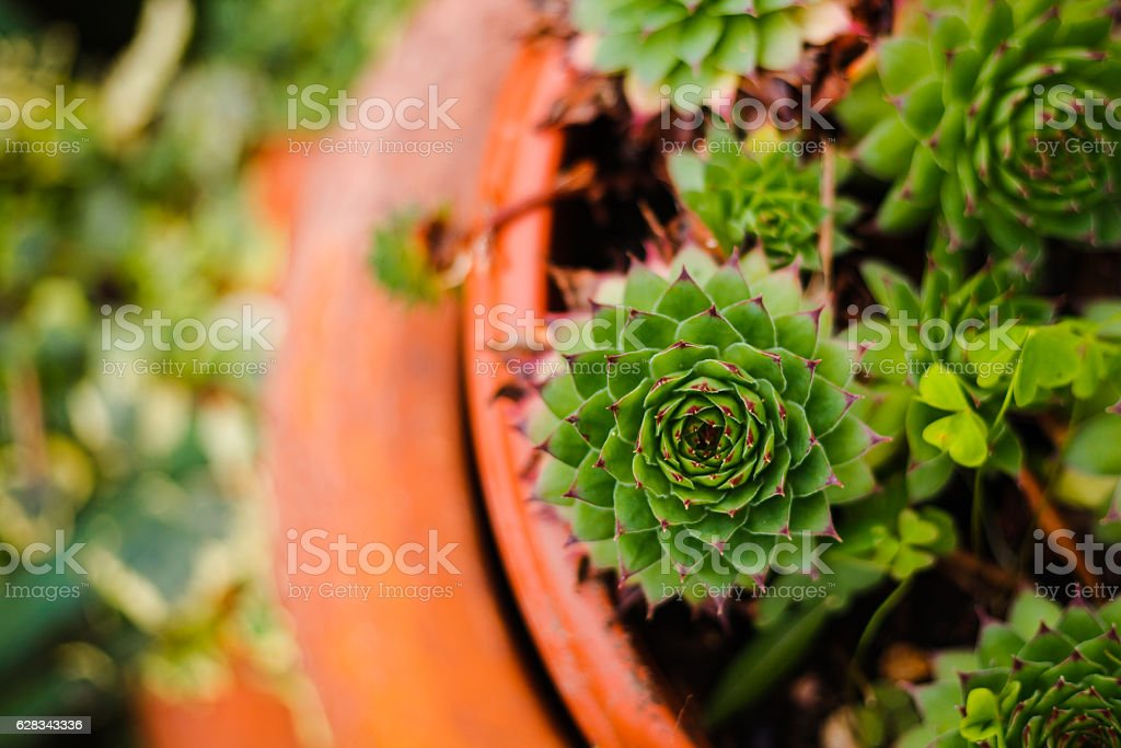 Succulent plant in stone garden. Succulents evergreen on stones.Sempervivium calcareum stock photo