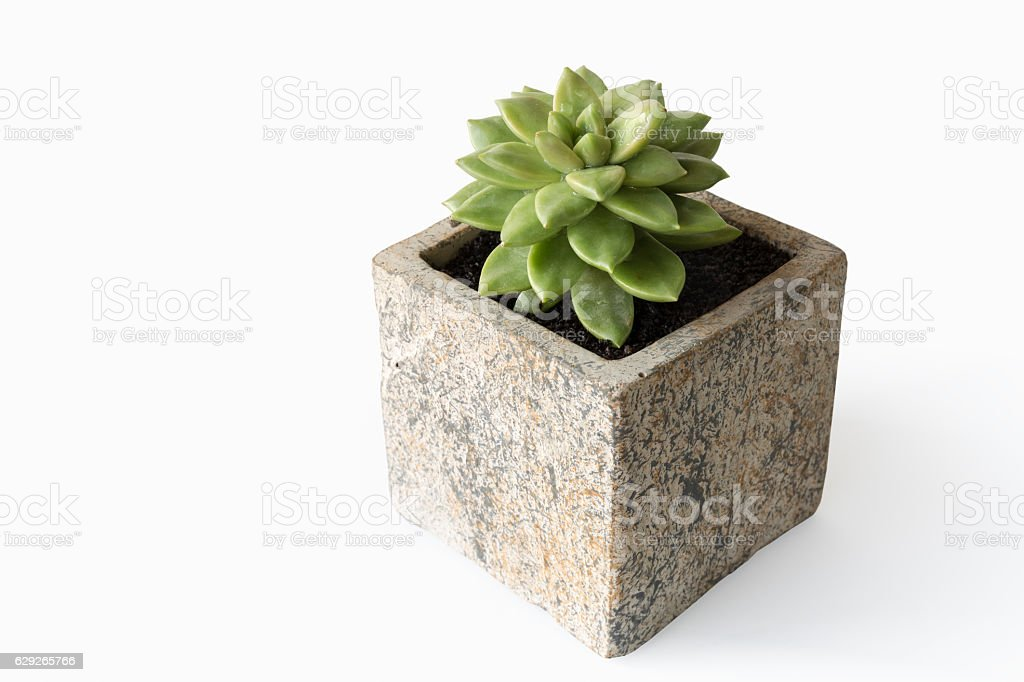 succulent plant isolated stock photo