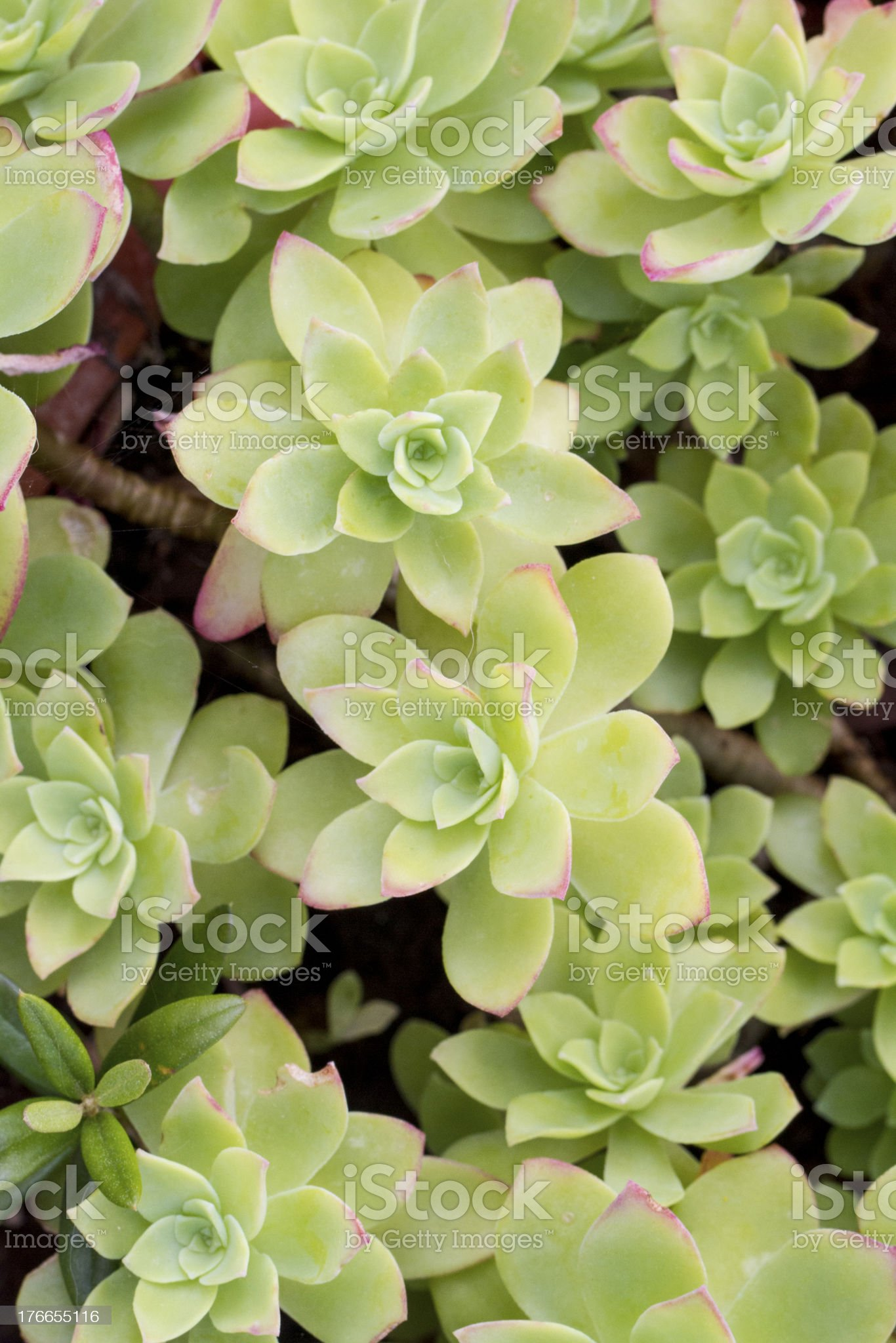 succulent plant (Echeveria Elegans) royalty-free stock photo