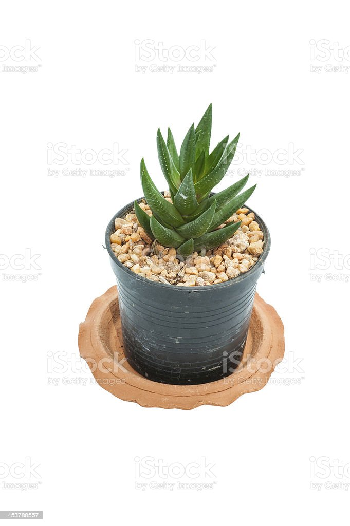 succulent plant royalty-free stock photo