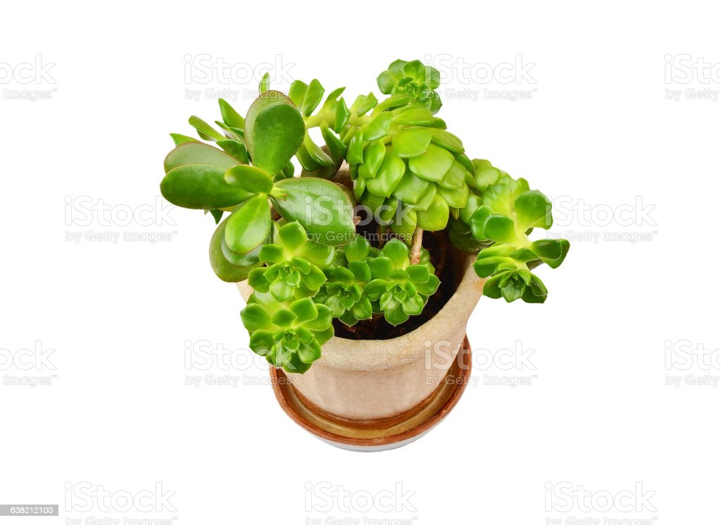 Succulent plant sempervivum and Crassula stock photo