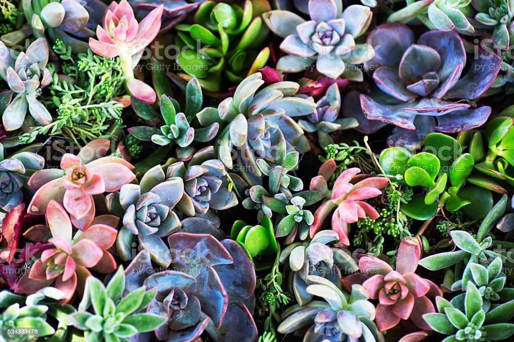 Succulent Plants stock photo