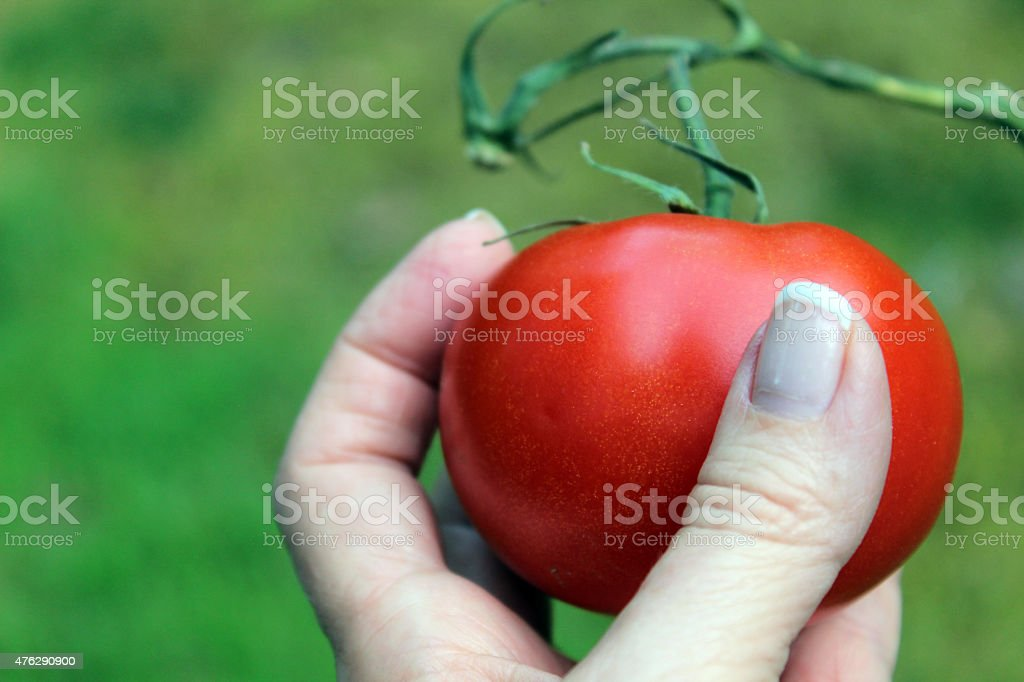 Succulent Tomato with Vine Held in Hand stock photo