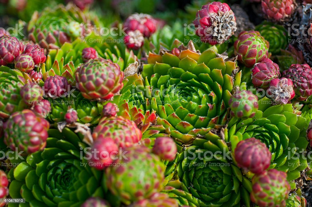 succulents in the garden stock photo