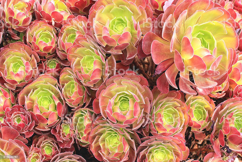 Succulents pattern stock photo
