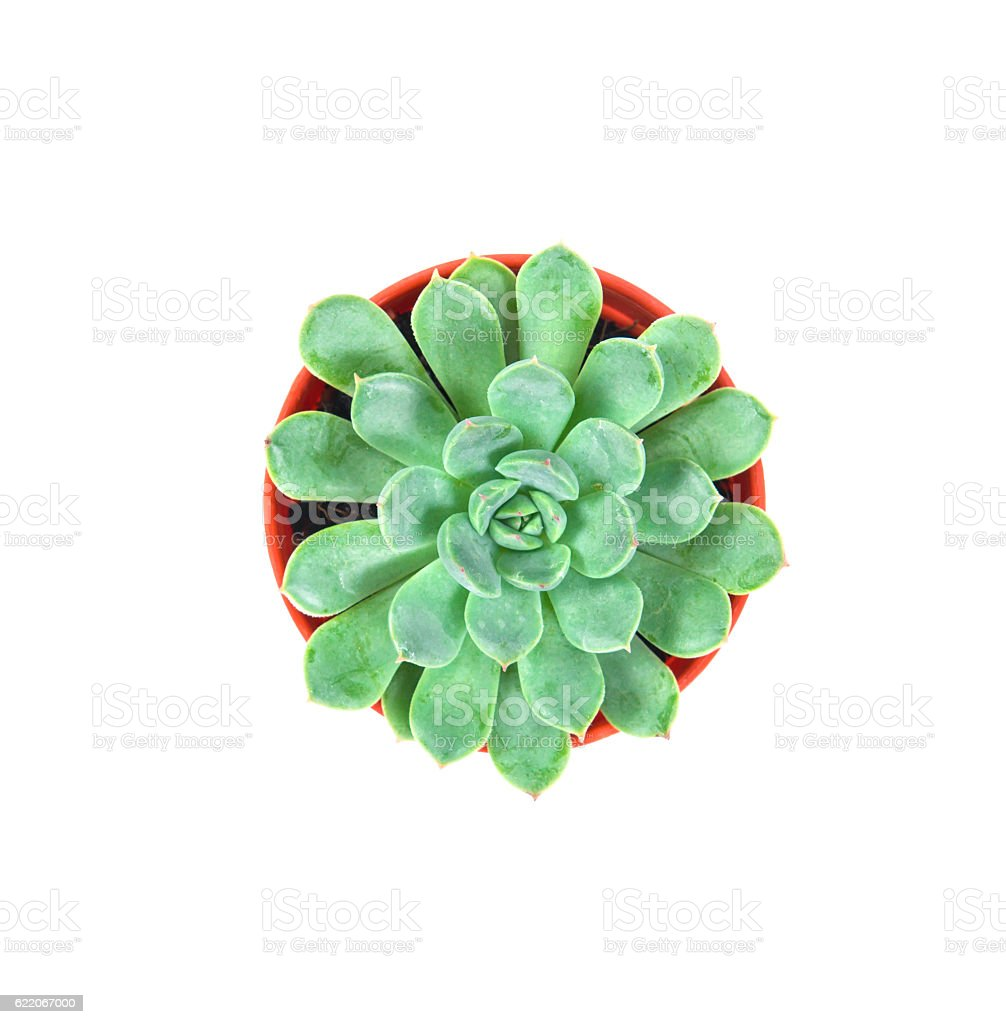 succulents plant in pot on white background stock photo