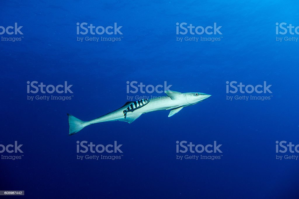 Suckerfish in the red sea stock photo