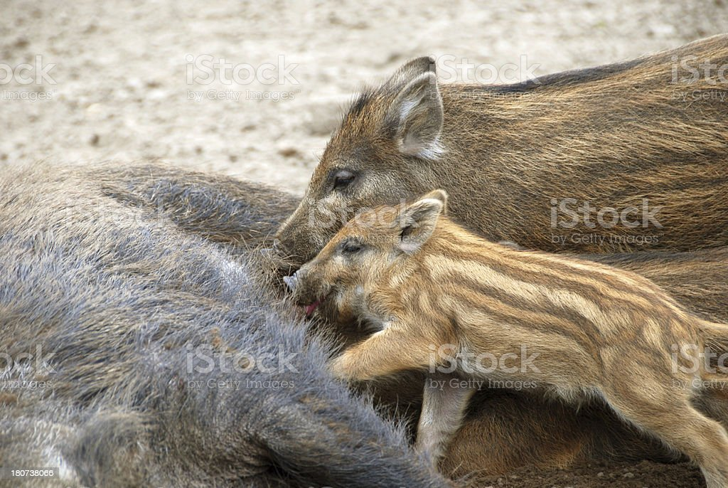 Suckling Piglets royalty-free stock photo