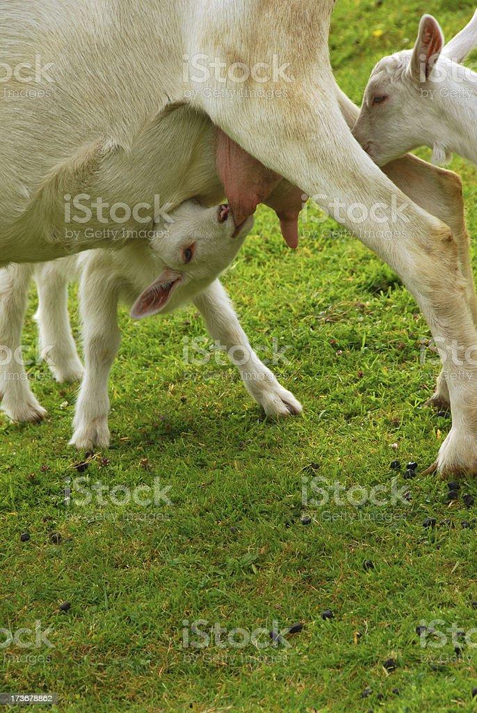 Suckling Saanen kid goat. stock photo