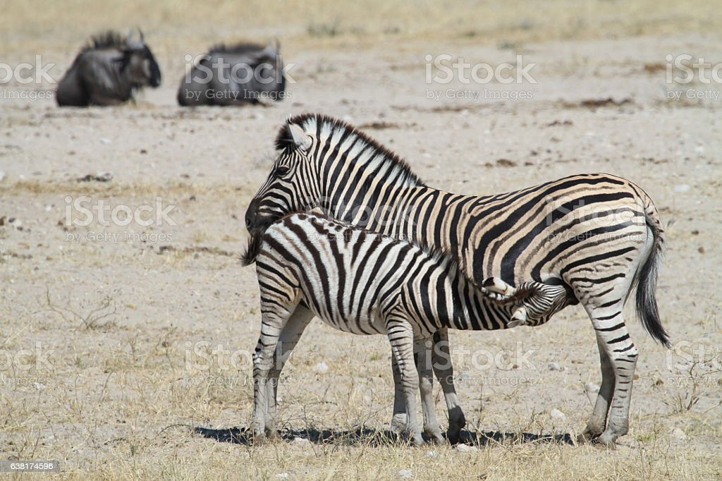 Suckling Zebra foal stock photo